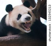 Closeup of panda bear roar - stock photo