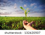 Hand Holding A Corn Plant  ...