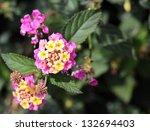 fresh lantana flower on green... | Shutterstock . vector #132694403