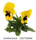 Close up of pansy flowers isolated on white background - stock photo
