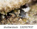 Small photo of Alticus kirkii magnusi (Lat) or Kirk's blenny (Eng)