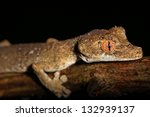 Small photo of Endangered Gunther's Leaf-tailed Gecko (Uroplatus guentheri) in Madagascar (Ankarafantsika). This is one of the most rare, threatened and vulnerable leaf-tail geckos.