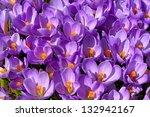 Group Purple Crocuses. Spring...