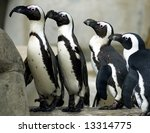 a group of african penguins... | Shutterstock . vector #13314775