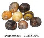 Small photo of Diversity of the aquatic snail Littorina obtusata
