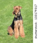 Small photo of The portrait of Airedale Terrier on the green grass