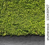 Green leaves wall and cement floor for background - stock photo