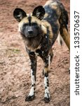Small photo of african hunting dog stood against a background of red sand/African Hunting Dog