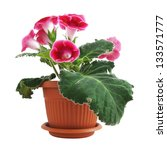 flowers of pink gloxinia in a... | Shutterstock . vector #133571777