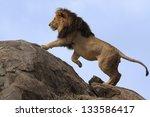Black Maned Lion Climbing On...