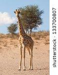 one curious giraffe   Shutterstock . vector #133700807