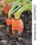 Closeup Of A Ripe Carrot In A...
