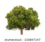 Mango Tree  Mangifera Indica  ...