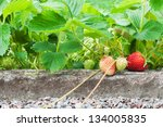 Strawberries growing in the garden - stock photo