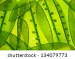 snow peas up close | Shutterstock . vector #134079773