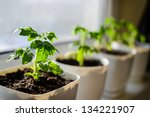 Young Tomato Plants Growing Ou...
