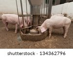 Pigs during feeding - stock photo