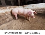 Young boar, landrace breed - stock photo