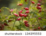 Briar  Wild Rose Hip Shrub In...