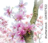 Tulip Magnolia Tree - stock photo