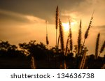 Foxtail weed in the evening in nature concept - stock photo