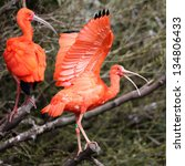 details of a perching scarlet...   Shutterstock . vector #134806433