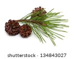 Pine Branch And Cones Isolated...