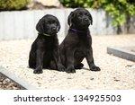 Adorable Black Labrador...