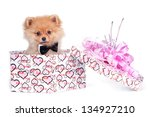 dog (Spitz) in gift box - stock photo