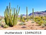 Cactuses In Organ Pipe Cactus...