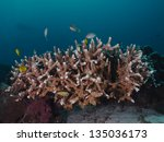 Small photo of Staghorn coral (Acropora formosa)