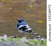Small photo of Beautiful Slaty-backed Forktail bird (Enicurus schistaceus), back profile