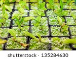 Cultivating the coca plant, Erythroxylum coca, from which cocaine is derived, in small plastic pots for domestic use as a houseplant and whose leaves are chewed dried as a stimulant - stock photo