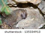 hedgehog   Shutterstock . vector #135334913