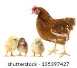 chickens and hen | Shutterstock . vector #135397427