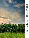 Corn farm and sky in the countryside Thailand - stock photo