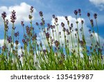 lavender against a blue cloudy... | Shutterstock . vector #135419987