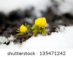 Yellow flower on soil, snow around, spring concept - stock photo