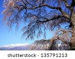 weeping cherry tree of seirin... | Shutterstock . vector #135791213