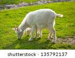 White Goats Feeding On The Farm