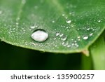 drops of water and taro leaves | Shutterstock . vector #135900257