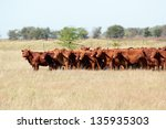 red angus cattle on pasture | Shutterstock . vector #135935303