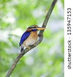 Small photo of The Rufous-collared Kingfisher (Actenoides concretus) is a species of bird in the Alcedinidae family.