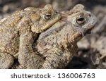 two common toads  bufo bufo  | Shutterstock . vector #136006763