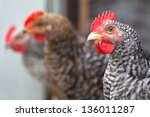 a group of young roosters