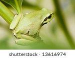tree frog | Shutterstock . vector #13616974