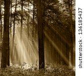 Coniferous Forest Illuminated...