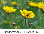 Honey Bees Collecting Pollen I...