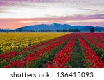Colourful Tulips In The Large...