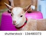 A 2 Week Old Goat Kid Is...